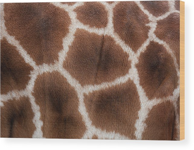 Animal Skin Wood Print featuring the photograph Giraffes Skin Texture by Andrew Dernie