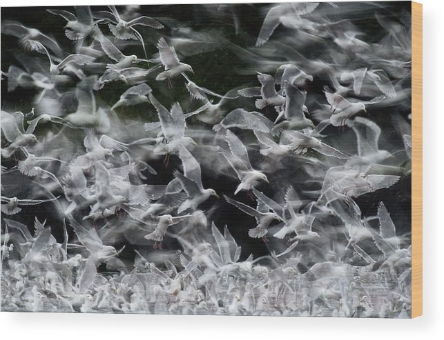 Blurred Motion Wood Print featuring the photograph Glaucous-winged Gulls by Eastcott Momatiuk