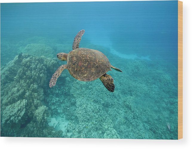 Underwater Wood Print featuring the photograph Green Sea Turtle, Big Island, Hawaii by Paul Souders