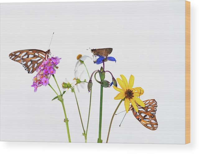 White Background Wood Print featuring the photograph Gulf Fritillary And Brown Skipper by Jim Mckinley