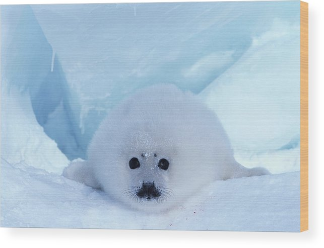 Iles De La Madeleine Wood Print featuring the photograph Harp Seal Phoca Groenlandica by Art Wolfe