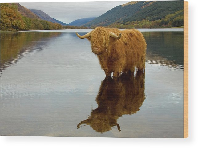 Horned Wood Print featuring the photograph Highland Cow by Empato