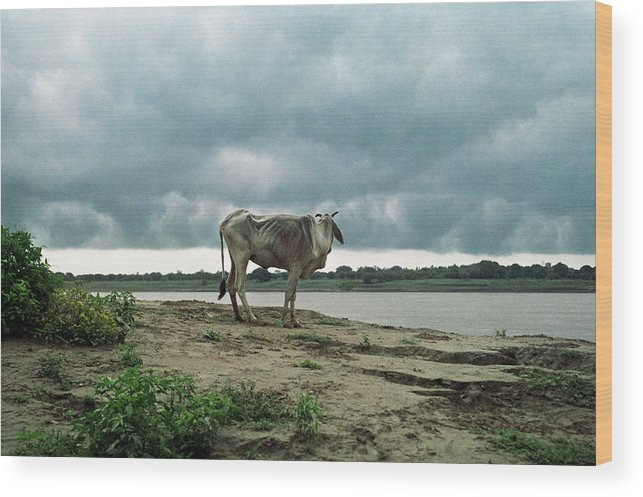 Animal Themes Wood Print featuring the photograph Holy Cow By Ganges River by Boaz Rottem