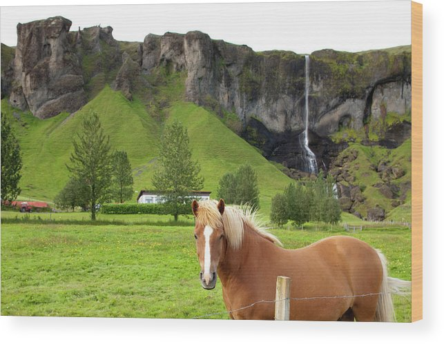 Scenics Wood Print featuring the photograph Icelandic Horse And Waterfall, Vik by Paul Souders
