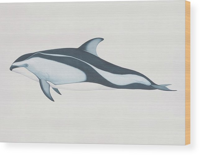 White Background Wood Print featuring the digital art Lagenorhynchus Obliquidens, Pacific by Martin Camm