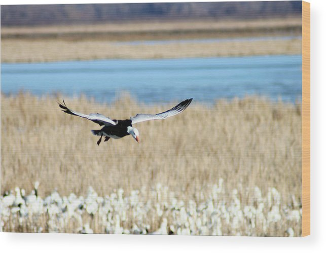 Snow Geese Wood Print featuring the photograph Landing by Steve Karol