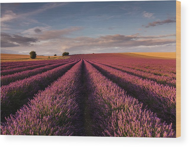 Scenics Wood Print featuring the photograph Lavender Field by Paul Baggaley