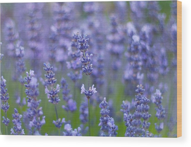 Otago Region Wood Print featuring the photograph Lavender Flowers by Jill Ferry