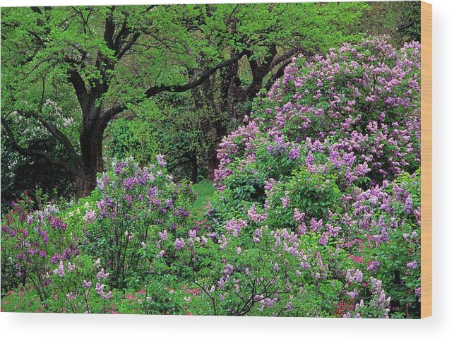 Outdoors Wood Print featuring the photograph Lilac At Arnold Arboretum by Richard Felber