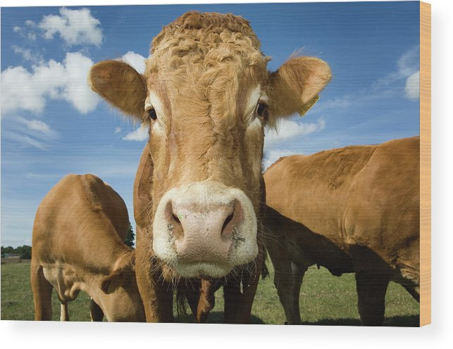 Cow Wood Print featuring the photograph Limousin Bull by Clarkandcompany