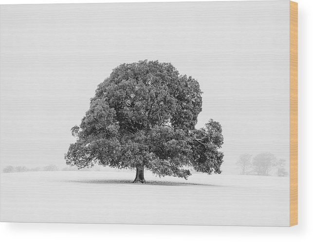Scenics Wood Print featuring the photograph Lone Holm Oak Tree In Snow, Somerset, Uk by Nick Cable