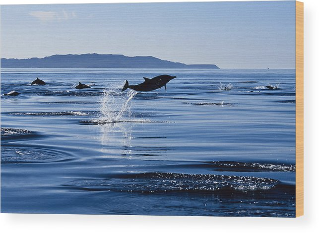 Latin America Wood Print featuring the photograph Long-nosed Common Dolphin,delphinus by Gerard Soury