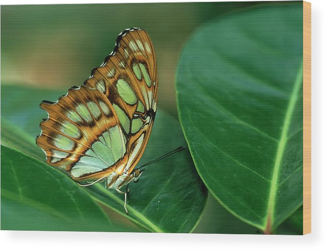 Nymphalidae Wood Print featuring the photograph Malachite Butterfly, Siproeta Stelenes by Adam Jones