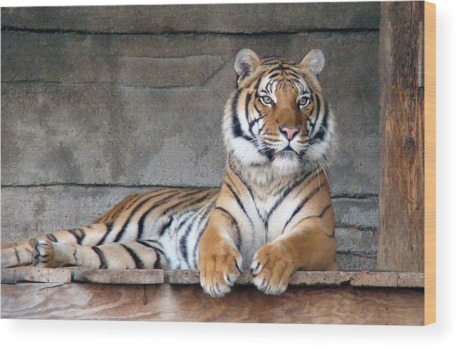 Animal Themes Wood Print featuring the photograph Malayan Tiger by Photography By P. Lubas