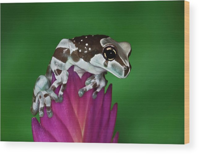 Animal Themes Wood Print featuring the photograph Milk Frog, Trachycephalus Resinifictrix by Adam Jones
