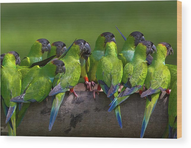 Vertebrate Wood Print featuring the photograph Nanday Parakeets Perched In A Row In by Mint Images - Art Wolfe