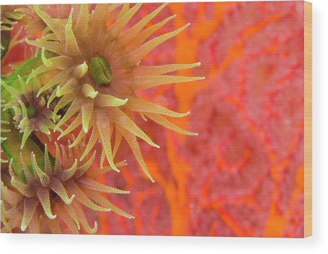 Underwater Wood Print featuring the photograph Orange Cup Coral Tubastraea Sp by Rene Frederick