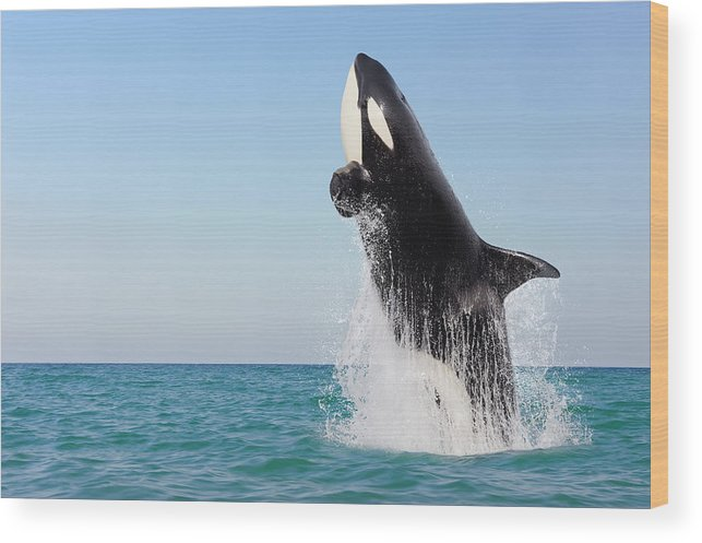Three Quarter Length Wood Print featuring the photograph Orca Jumping Out Of Water by Martin Ruegner