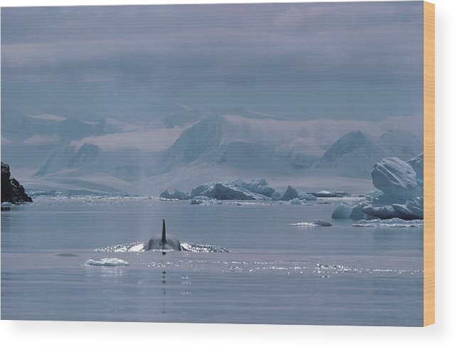 Iceberg Wood Print featuring the photograph Orca Orcinus Orca, Antarctica by Art Wolfe
