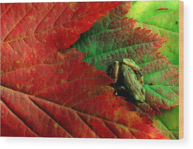 Pacific Tree Frog Wood Print featuring the photograph Pacific Tree Frog Hyla Regilla On Maple by Art Wolfe