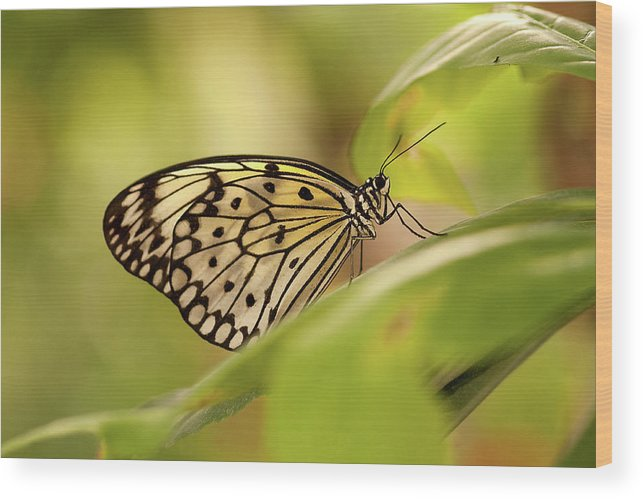 Natural Pattern Wood Print featuring the photograph Paper Kite Butterfly by Photos By Jay Bee