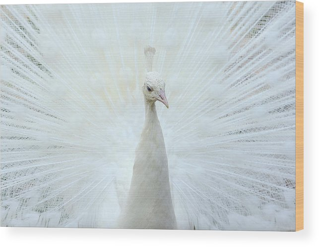Indian Peafowl Wood Print featuring the photograph Pavone by Marco Pozzi Photographer