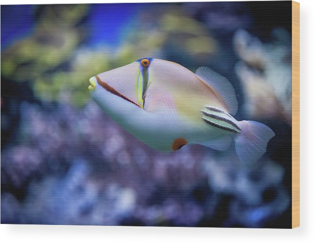 Underwater Wood Print featuring the photograph Picasso Triggerfish by Reynold Mainse / Design Pics