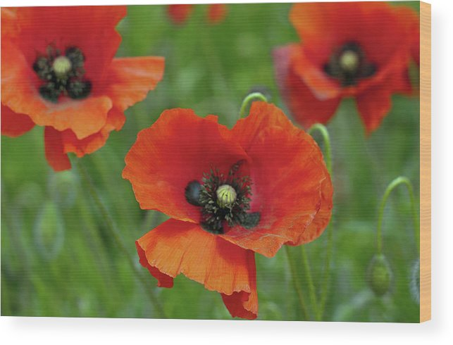 Petal Wood Print featuring the photograph Poppies by Photo By Judepics