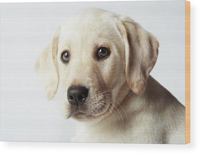 White Background Wood Print featuring the photograph Portrait Of Blond Labrador Retriever by Uwe Krejci