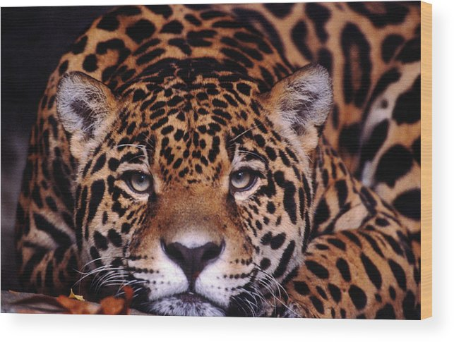 Latin America Wood Print featuring the photograph Portrait Of Jaguar, Brazil by Mark Newman