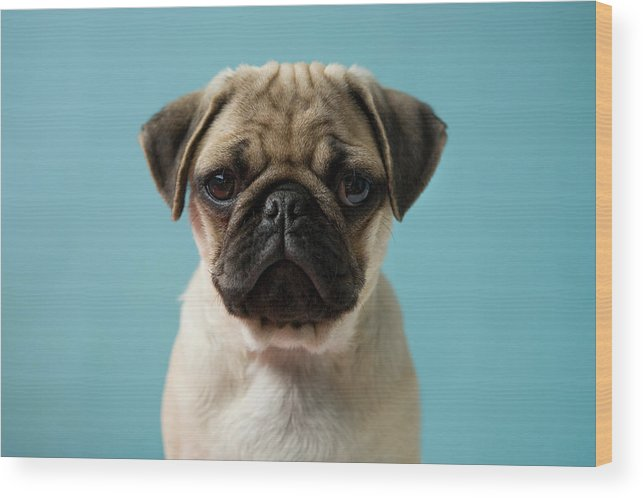 Pets Wood Print featuring the photograph Pug Puppy Against Blue Background by Reggie Casagrande