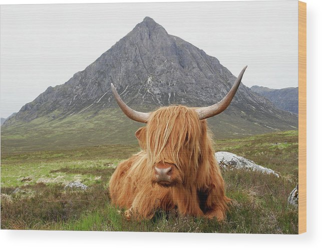 Horned Wood Print featuring the photograph Quintessential Scotland by Thedman