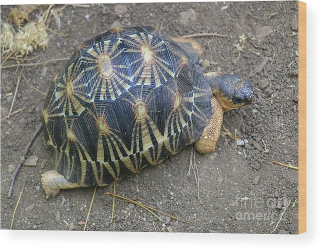 Madagascar Wood Print featuring the photograph Radiated Tortoise by Photostock-israel/science Photo Library