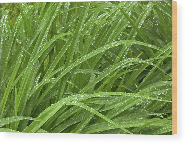 Tranquility Wood Print featuring the photograph Raindrops Of Daylily Foliage by Adam Jones