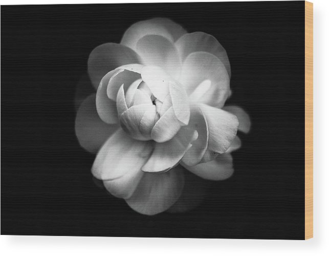 Black Background Wood Print featuring the photograph Ranunculus Flower by Annfrau