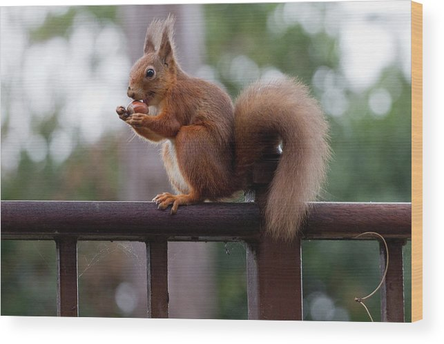 Animal Themes Wood Print featuring the photograph Red Squirrel Getting Ready For Winter by S0ulsurfing - Jason Swain