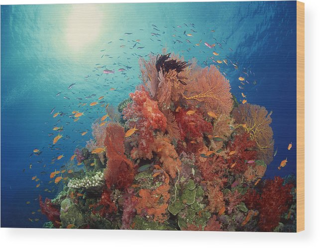 Underwater Wood Print featuring the photograph Reef Scenic Of Hard Corals , Soft by Comstock