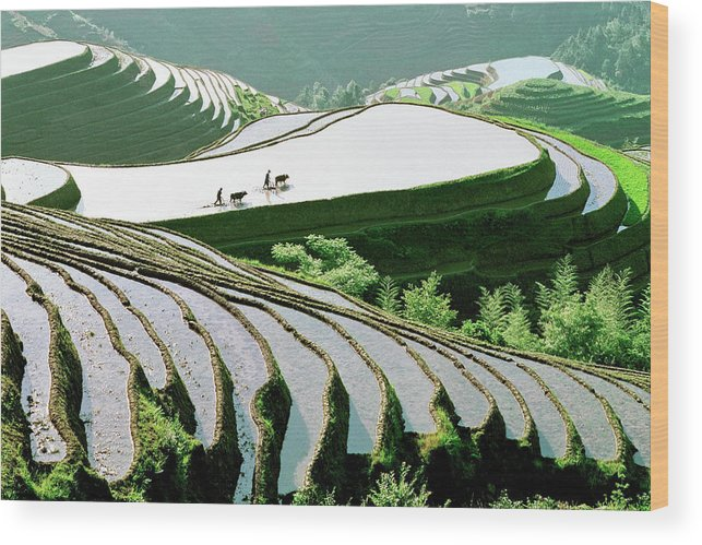 Chinese Culture Wood Print featuring the photograph Rice Terraces by Kingwu