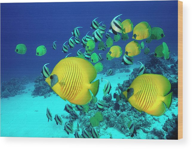 Underwater Wood Print featuring the photograph School Of Butterfly Fish Swimming On by Georgette Douwma