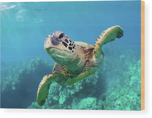 Underwater Wood Print featuring the photograph Sea Turtle, Hawaii by M Swiet Productions