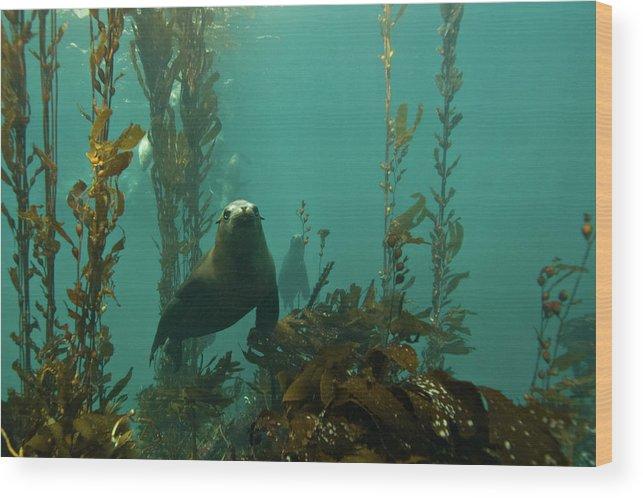 Sea Lion Wood Print featuring the photograph Sealion by Douglas Klug