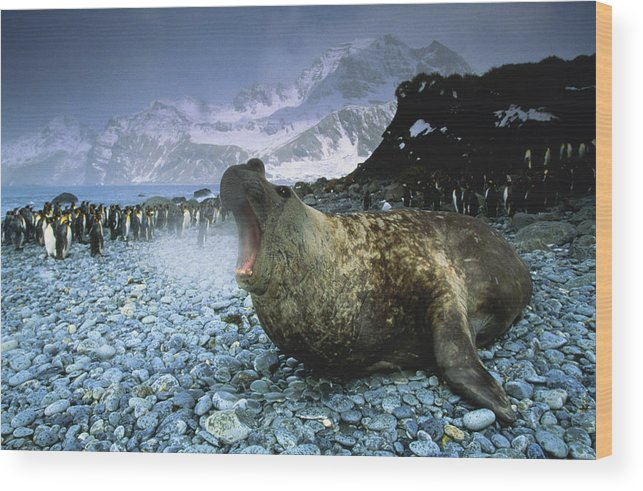 Snow Wood Print featuring the photograph Southern Elephant Seal Mirounga Leonina by Art Wolfe