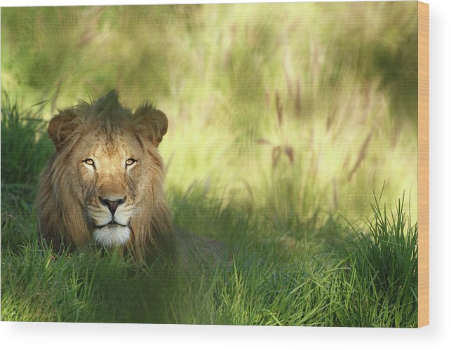 Tropical Rainforest Wood Print featuring the photograph Staring Lion In Field Of Grass With by Jimkruger