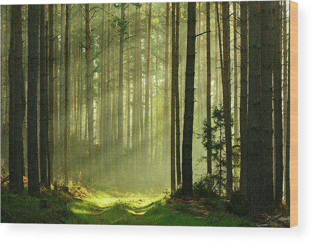 Scenics Wood Print featuring the photograph Sunbeams Breaking Through Pine Tree by Avtg