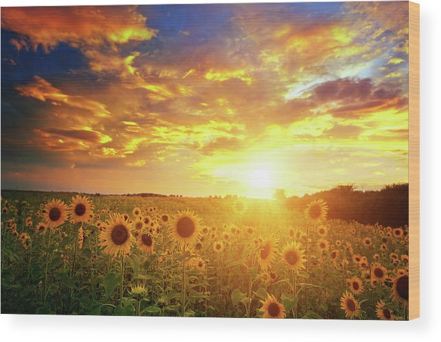 Scenics Wood Print featuring the photograph Sunflowers Field And Sunset Sky by Avalon studio