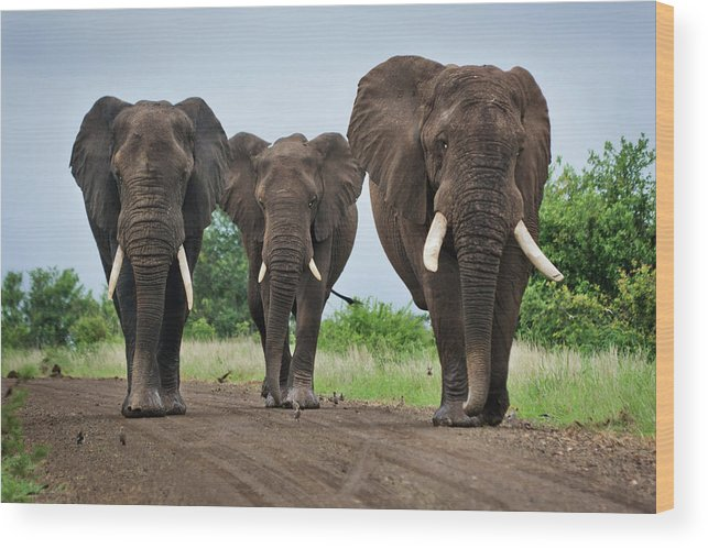Toughness Wood Print featuring the photograph Three Big Elephants On A Dirt Road by Johansjolander