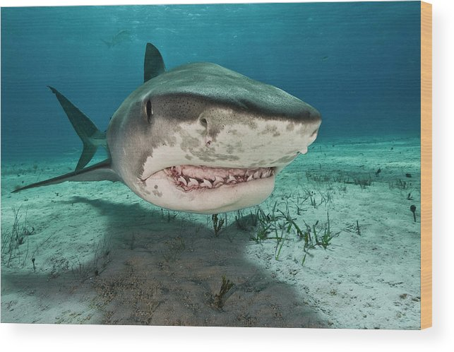 Underwater Wood Print featuring the photograph Tiger Sharks Galeocerdo Cuvier Are by Rodrigo Friscione