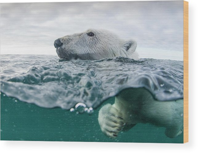 Paw Wood Print featuring the photograph Underwater Polar Bear In Hudson Bay by Paul Souders