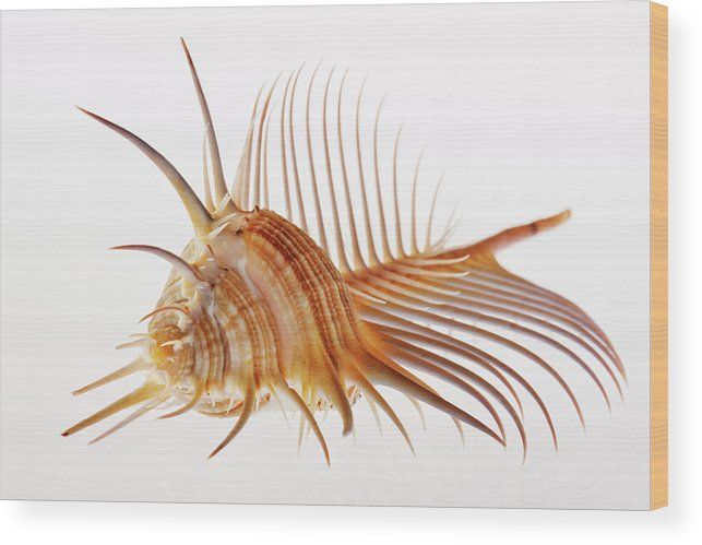White Background Wood Print featuring the photograph Venus Comb Murex Shell by Martin Harvey