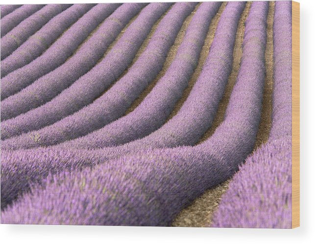 In A Row Wood Print featuring the photograph View Of Cultivated Lavender Field by Michele Berti